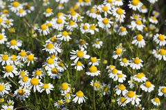Chamomile flowers meadow Royalty Free Stock Image