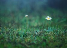 Chamomile flowers on a meadow in summer, blue toned background Royalty Free Stock Images