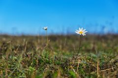 Chamomile flowers on a meadow in summer, Selective focus Royalty Free Stock Image