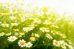 Chamomile flowers on meadow Stock Image