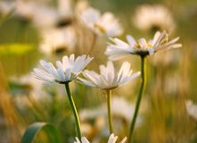 Chamomile flowers on  meadow in sunset light Stock Images