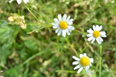 Chamomile flowers of medical chamomilles for alternative medicine. Chamomile flowers field. Summer Daisies. Beautiful nature scene with blooming medical royalty free stock photos
