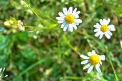 Chamomile flowers of medical chamomilles for alternative medicine. Chamomile flowers field. Summer Daisies. Beautiful nature scene with blooming medical royalty free stock image
