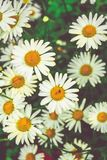 Chamomile flowers of medical chamomilles for alternative medicine. Chamomile flowers field. Summer Daisies. Beautiful nature scene with blooming medical stock photo