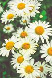 Chamomile flowers of medical chamomilles for alternative medicine. Chamomile flowers field. Summer Daisies. Beautiful nature scene with blooming medical stock photography