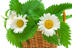 Chamomile flowers and nettle leaves in a basket. Royalty Free Stock Photography