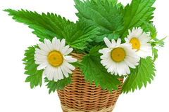 Chamomile flowers and nettle leaves close up on white backgroun Stock Photo