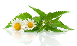 Chamomile flowers and nettle leaves on a white background Stock Photo
