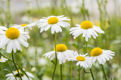 Chamomile flowers. Over blurred background Royalty Free Stock Images