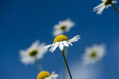Chamomile flowers over the bright, blue sky royalty free stock photography
