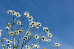 Chamomile flowers over the bright, blue sky Stock Images
