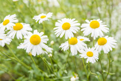 Chamomile flowers. Over green field Royalty Free Stock Images