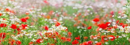 Chamomile flowers and poppies as panorama Royalty Free Stock Photos