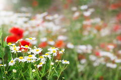 Chamomile flowers and poppies Royalty Free Stock Images