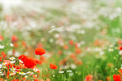 Chamomile flowers and poppies Royalty Free Stock Photo