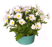 Chamomile flowers  in pot isolated Stock Photography
