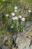 Chamomile. Flowers in the rocks on the river bank Royalty Free Stock Images