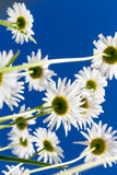 Chamomile flowers seen from the below Royalty Free Stock Photography