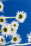 Chamomile flowers seen from the below Stock Images