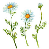 Chamomile flowers set. Hand painted watercolor illustration Stock Image