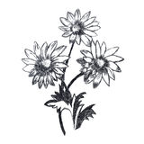 Chamomile flowers sketch Stock Images