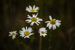 Chamomile flowers in the summer Royalty Free Stock Images