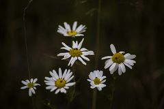 Chamomile flowers in the summer Stock Photography