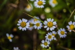 Chamomile flowers in the summer Stock Photo