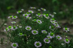 Chamomile flowers in the summer Royalty Free Stock Photos