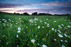 Chamomile flowers on summer meadows at sunset Stock Photos