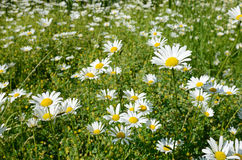 Chamomile flowers in a sunny Meadow (peace, health, magic, desir Royalty Free Stock Photo
