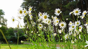 Chamomile Flowers Sway in the Wind. Time Lapse stock video