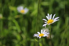 Chamomile flowers. Two daisies. Alps stock image