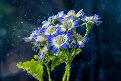 Chamomile flowers in water Stock Image