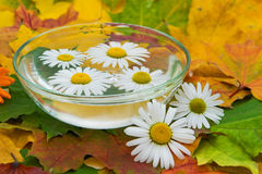 Chamomile flowers in water and maple leaves. Chamomile flowers in water and in the autumn maple leaves Stock Image