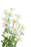 Chamomile Flowers on a White Stock Photos