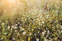 chamomile flowers on wide field under midday sun Stock Image