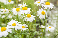 Chamomile flowers. Wild Chamomile flowers over green field Royalty Free Stock Image