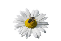Chamomile and fly. Isolated on a white background stock photos