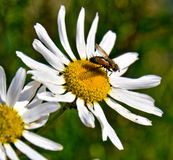 Chamomile and fly Royalty Free Stock Photography