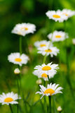 Chamomile fresh flowers Stock Images