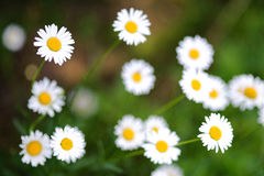 Chamomile fresh flowers Royalty Free Stock Photography