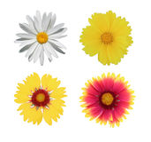 Chamomile and gaillardia flowers Stock Photography