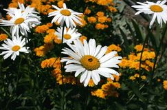 Chamomile in the garden Stock Images