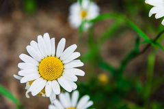 Chamomile Royalty Free Stock Photos