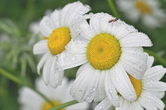 Chamomile in the garden. Chamomiles after a rain Stock Images