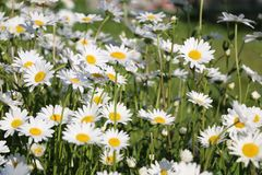 Chamomile garden. white flowers of Russian chamomile daisy. Beau. Tiful nature scene with blooming medical chamomilles. Alternative medicine Spring Daisy. Summer royalty free stock images