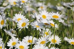 Chamomile garden. white flowers of Russian chamomile daisy. Beau. Tiful nature scene with blooming medical chamomilles. Alternative medicine Spring Daisy. Summer stock photography