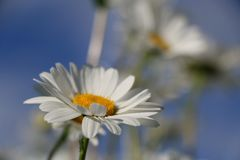 Chamomile garden. white flowers of Russian chamomile daisy. Beau. Tiful nature scene with blooming medical chamomilles. Alternative medicine Spring Daisy. Summer royalty free stock photos