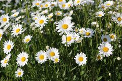Chamomile garden. white flowers of Russian chamomile daisy. Beau. Tiful nature scene with blooming medical chamomilles. Alternative medicine Spring Daisy. Summer stock photos